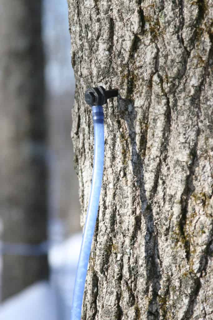 light blue plastic tubing collecting maple sap on a maple tree