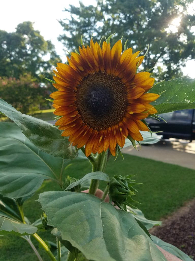 amber color sunflower in front yard